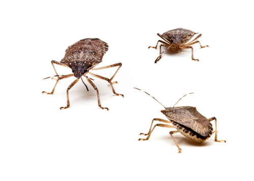 Preventing The Arrival Of Stink Bugs In Your Home